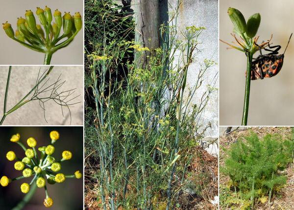 Foeniculum vulgare Mill. subsp. vulgare