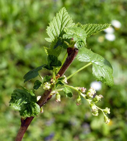 Ribes nigrum L. 'Silvergieters Schwarze'