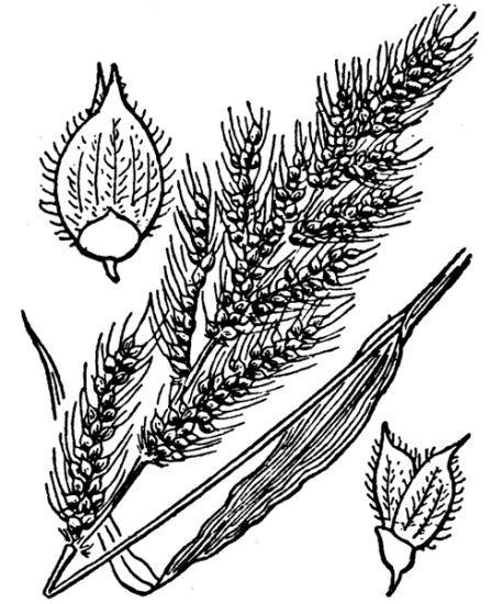 Echinochloa crus-galli (L.) P.Beauv. subsp. crus-galli