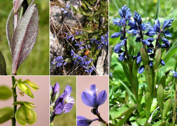 Polygala alpestris Rchb. subsp. alpestris