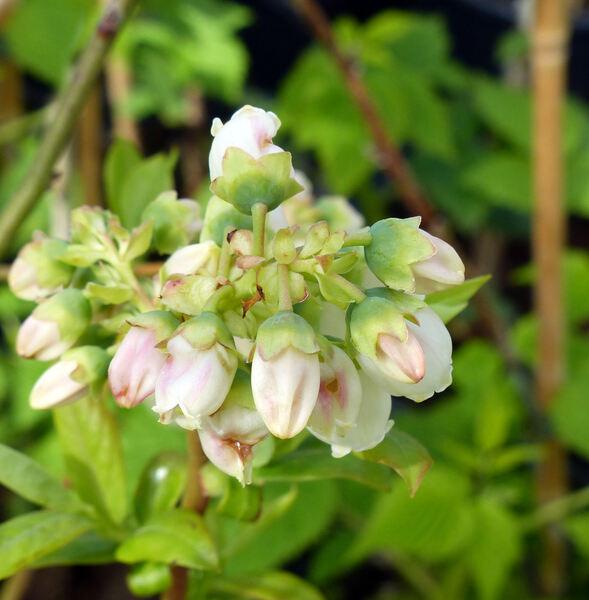 Vaccinium corymbosum L. 'Grover'