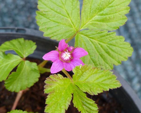 Rubus arcticus L. 'Sofia'