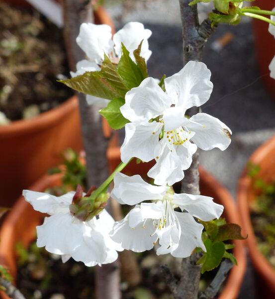 Prunus avium (L.) L.  'Anellona'