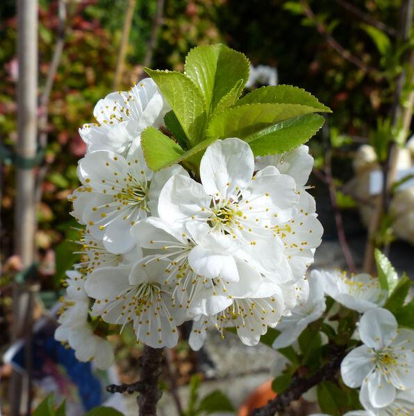 Prunus avium (L.) L. 'Marasco Nano'
