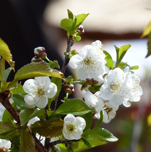 Prunus cerasus L. 'Marsca della Dalmazia'