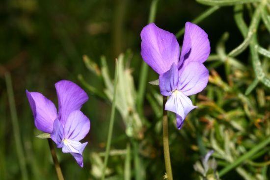 Viola merxmuelleri Erben
