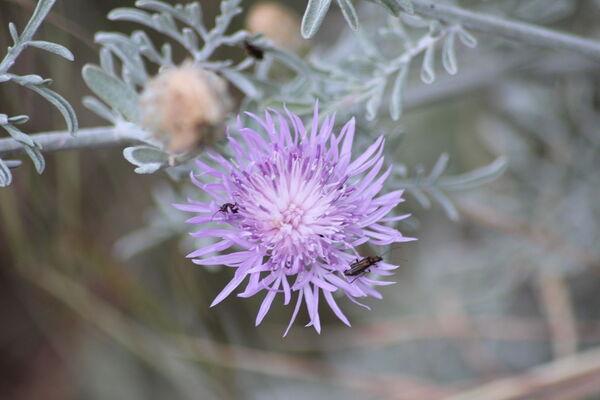 Centaurea leucadea Lacaita