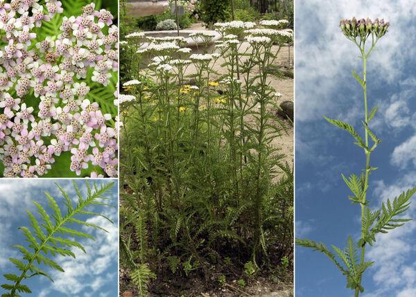 Achillea distans Waldst. & Kit. ex Willd.