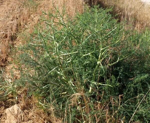 Echinophora tenuifolia L. subsp. tenuifolia