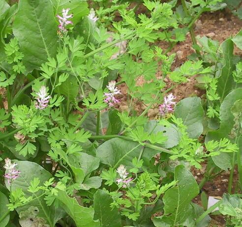 Fumaria judaica Boiss. subsp. judaica
