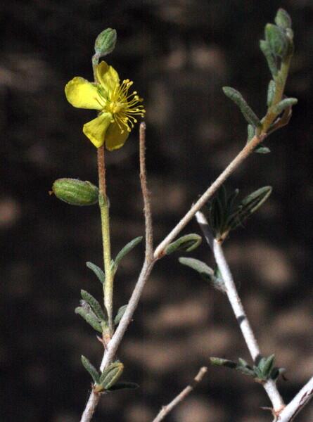Helianthemum lippii (L.) Dum.Cours.