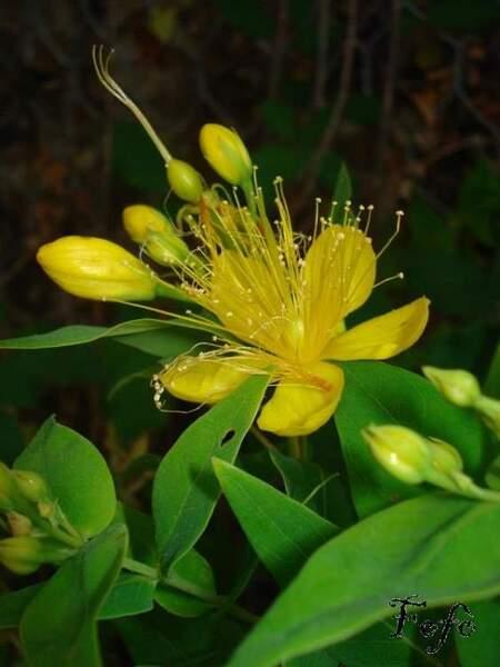 Hypericum hircinum L. subsp. majus (Aiton) N.Robson