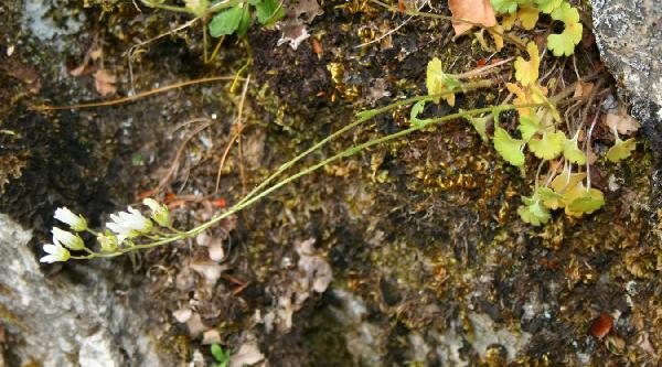 Saxifraga carpetana Boiss. & Reut. subsp. graeca (Boiss. & Heldr.) D.A.Webb