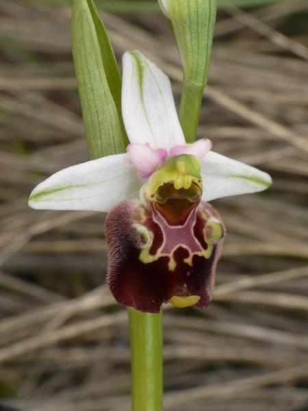 Ophrys pinguis Romolini & Soca