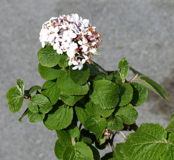 Viburnum carlesii Hemsl. 'Diana'