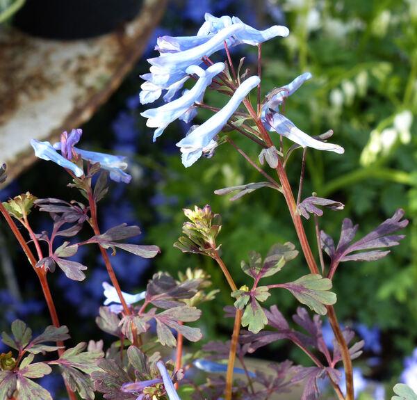 Corydalis flexuosa Franch. 'Blue Dragon'