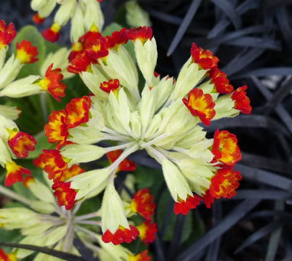 Primula veris L. 'Sunset Shades'