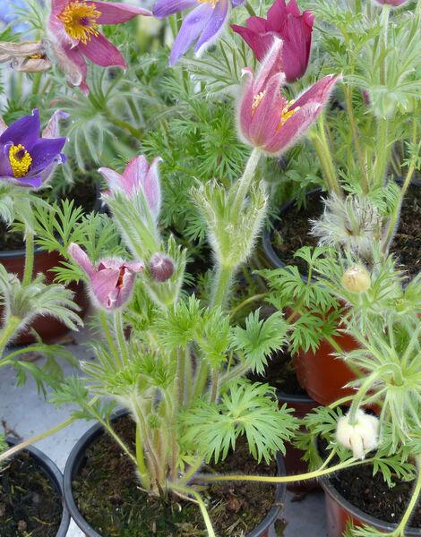 Pulsatilla vulgaris Mill. cv.