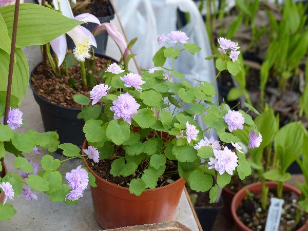 Anemonella thalictroides (L.) Spach 'Sheaf's Double Pink'