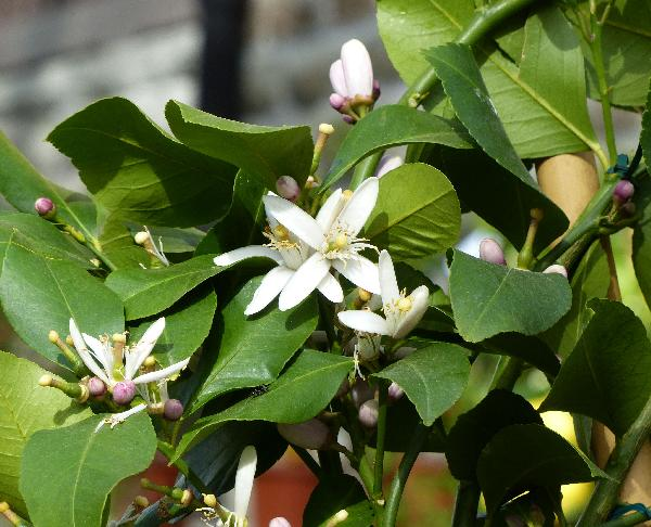 Citrus x limon (L.) Osbeck 'Toscano'