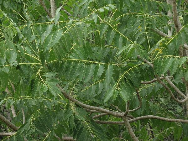 Ailanthus excelsa Roxb.