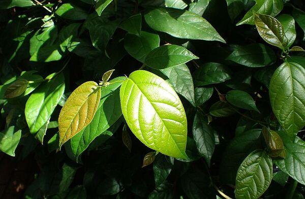 Ficus sagittata Vahl