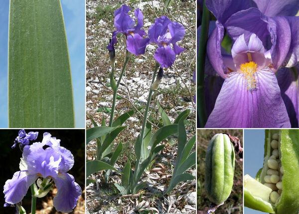Iris cengialti Ambrosi ex A.Kern. subsp. cengialti