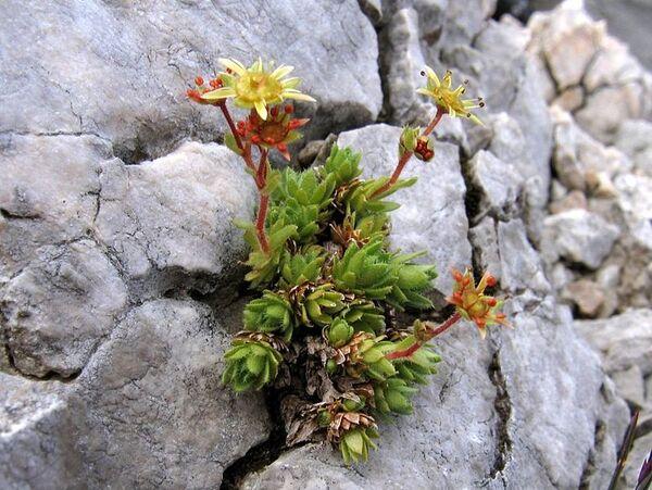 Saxifraga trichoides Scop.