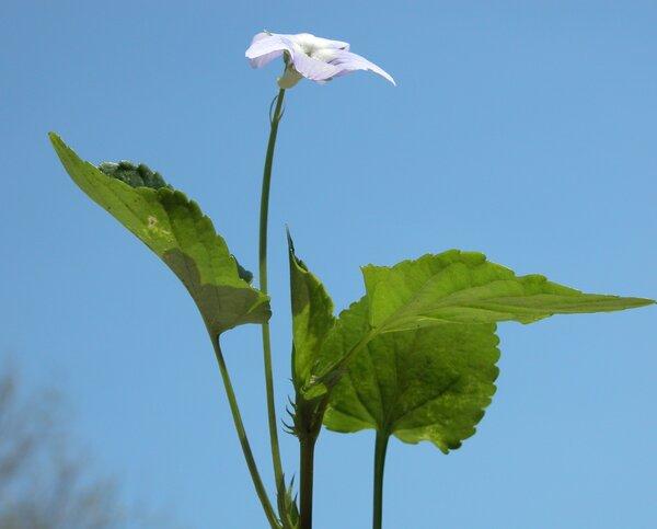 Viola canina L. subsp. canina