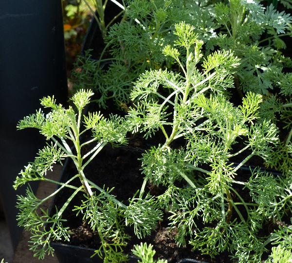 Artemisia abrotanum L.