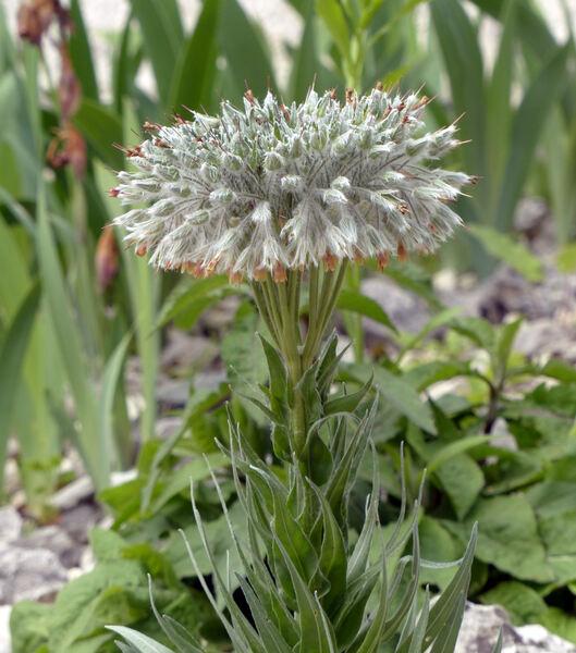 Rindera umbellata (Waldst. & Kit.) Bunge