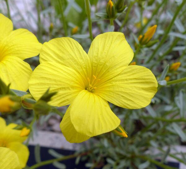 Linum tauricum Willd.