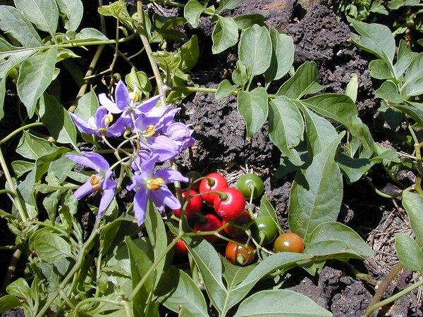 Solanum seaforthianum Andrews