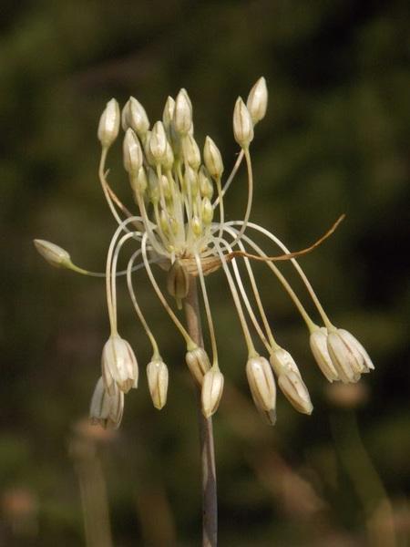 Allium aetnense Brullo, Pavone & Salmeri