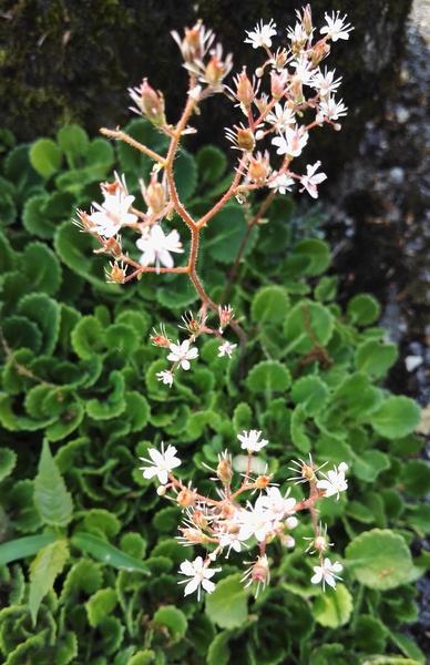 Saxifraga ×geum L. nothosubsp. geum