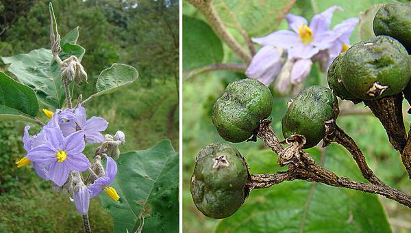 Solanum lanceolatum Cav.
