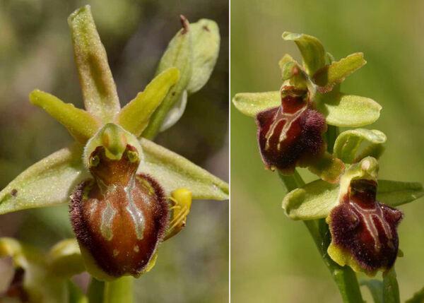 Ophrys classica Devillers-Tersch. & Devillers