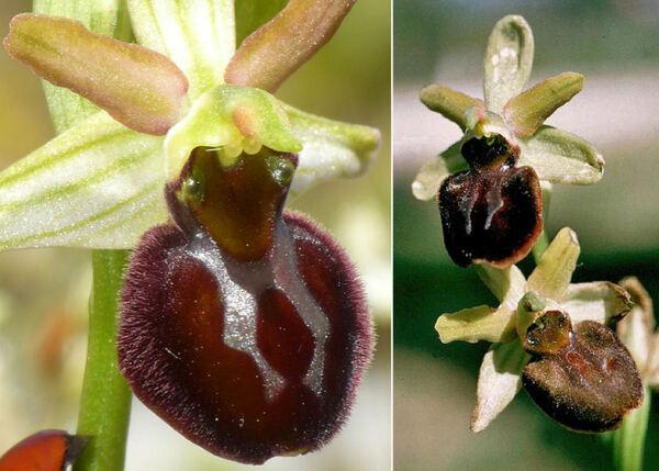 Ophrys passionis Sennen ex Devillers-Tersch. & Devillers subsp. majellensis (Helga Daiss & Herm.Daiss) Romolini & Soca
