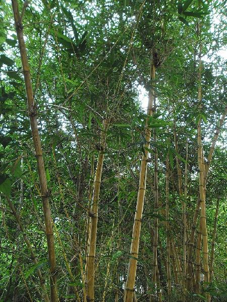 Bambusa vulgaris Schrad. ex J.C.Wendl.