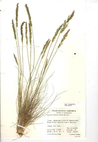 Agrostis curtisii Kerguélen