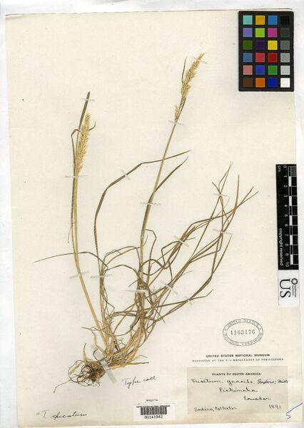 Trisetaria gracilis (Moris) Banfi & Arrigoni