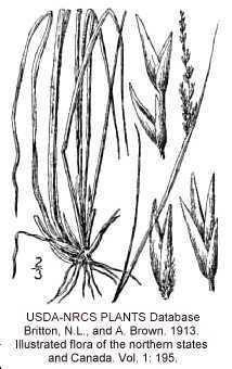Sporobolus clandestinus (Biehler) Hitchc.
