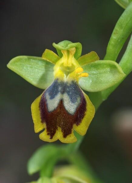 Ophrys laurensis Geniez & Melki