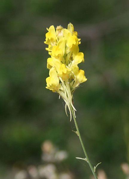 Linaria multicaulis (L.) Mill. subsp. heterophylla (Desf.) D.A.Sutton