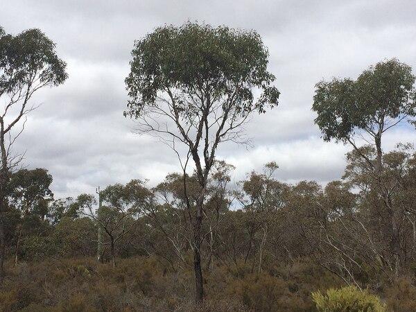 Eucalyptus occidentalis Endl.