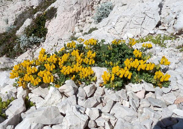 Lotus drepanocarpus Durieu