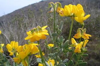 Coronilla minima L. subsp. lotoides (W.D.J.Koch) Nyman