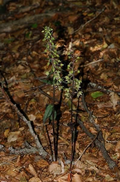 Epipactis meridionalis H.Baumann & R.Lorenz