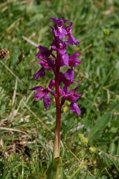 Orchis mascula (L.) L. subsp. mascula