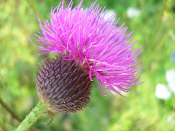 Carduus hamulosus Ehrh. subsp. hamulosus